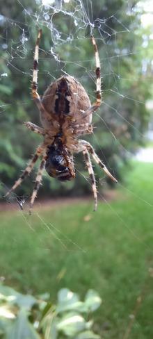 une araignée qui prépare son repas pour ce soir Mascouche, QC