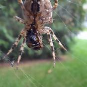une araignée qui prépare son repas pour ce soir