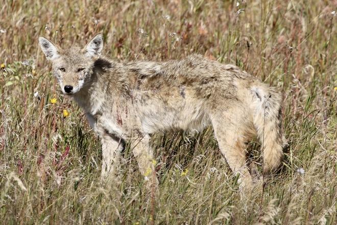 Coyote.. Rural Saskatchewan