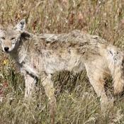 Coyote..