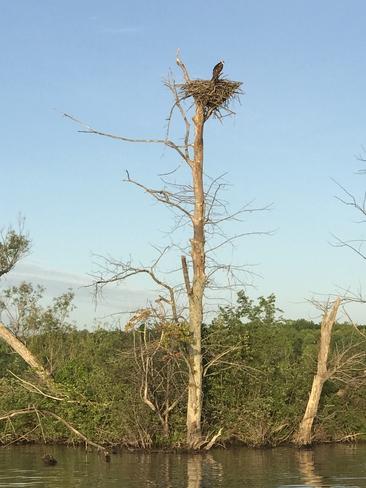 Osprey nest Gores Landing, Ontario, CA
