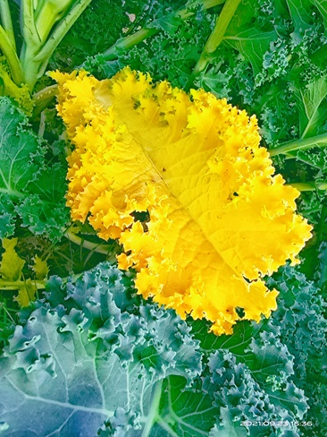 Yellow kale leaf Surrey, BC