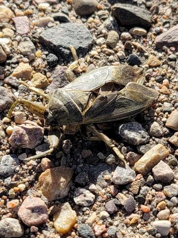 Jumbo Beetle Medicine Hat, AB