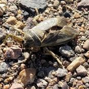 Jumbo Beetle