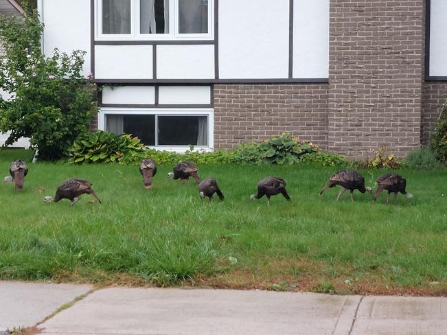 Turkeys Cornwall, ON