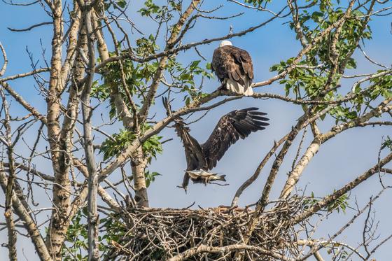 Multi-Tasking Bald Eagles