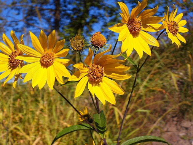 Fall flowers Cornwall, ON