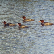 FOUR RED HEADS