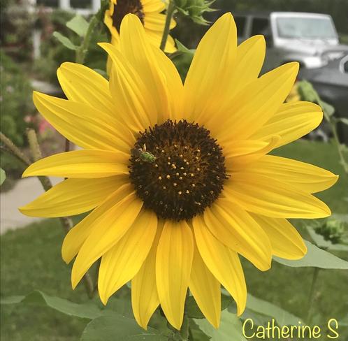 Maximilian - Prince of Sunflowers Toronto, Ontario, CA
