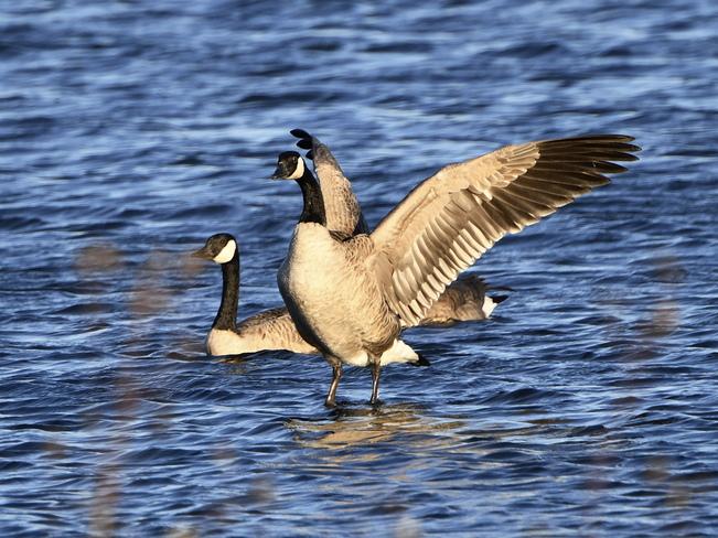 The Majestic Canada Goose Bonnyville, AB