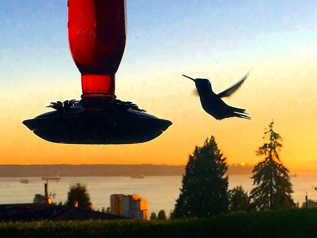 HUMMINGBIRD OR LOGO West Vancouver, BC