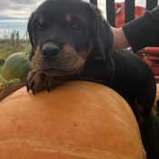 Lola is checking out the tractor and pumpkins