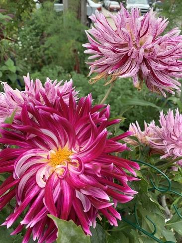 Flowers end of summer Etobicoke, Ontario, CA
