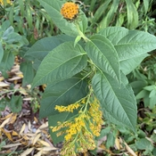 Golden rod and a bloom