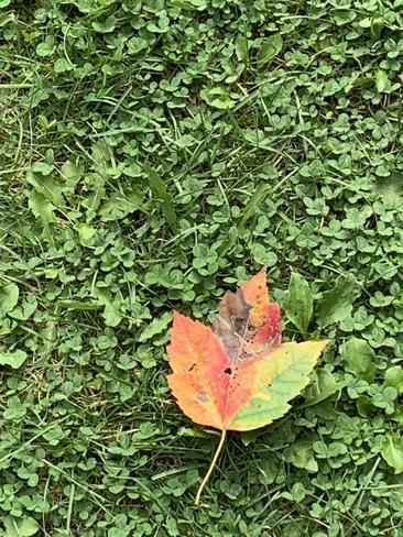 First leaf of fall Etobicoke, Ontario, CA