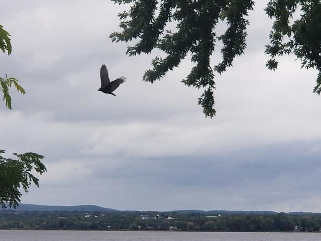 A big hawk circling my bird feeder...! Ottawa, ON