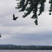 A big hawk circling my bird feeder...!