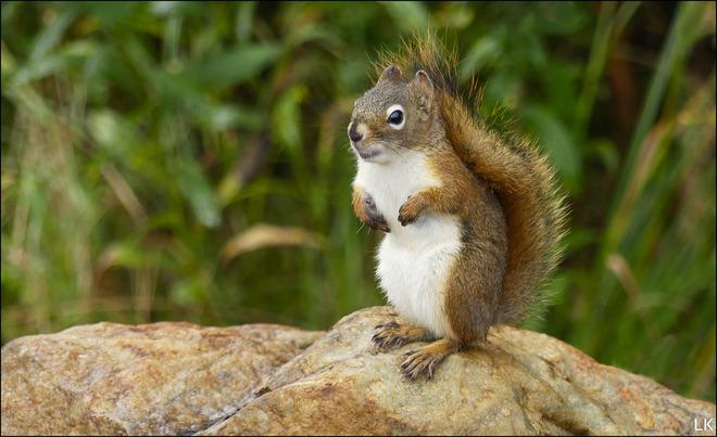 Squirrel, Elliot Lake. Elliot Lake, ON