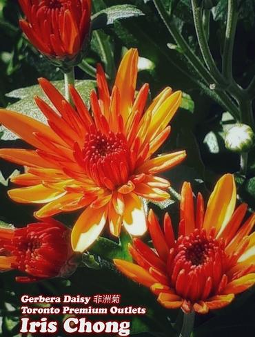 Sept 24 2021 Happy Friday!:) Enchanted Gerbera Daisy - Toronto Premium Outlets Halton Hills, ON