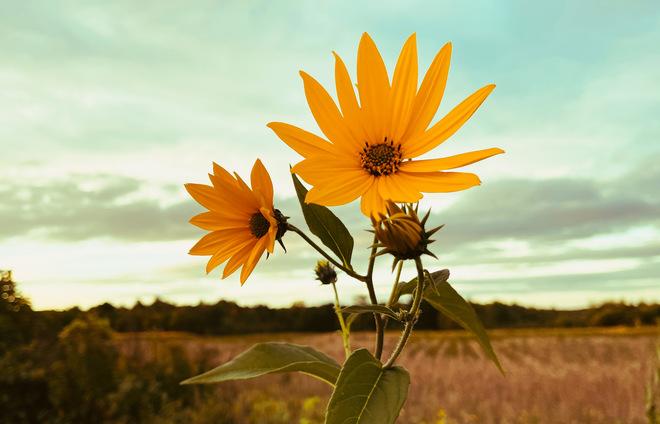 Une fleur jaune. Saint-Théodore-d'Acton, QC