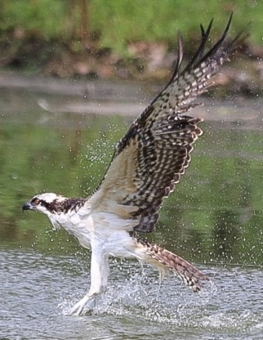 Osprey Amherstburg, Ontario, CA