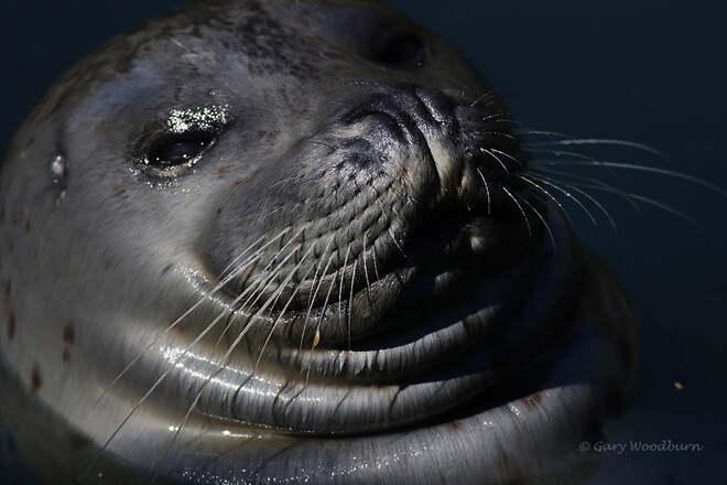 2021-09-24 - Afternoon smile from a seal in Pedder Bay Marina Pedder Bay RV Resort & Marina, Victoria, BC