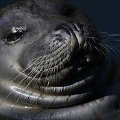 2021-09-24 - Afternoon smile from a seal in Pedder Bay Marina