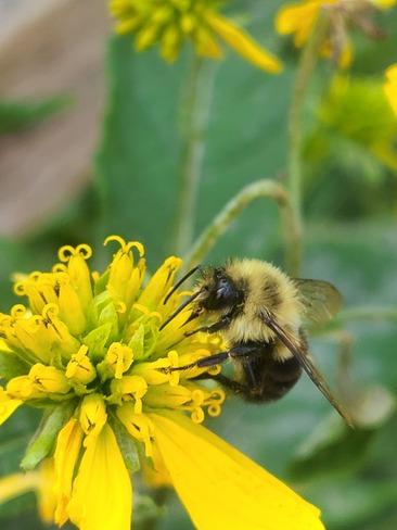 Bumblebee Windsor, ON