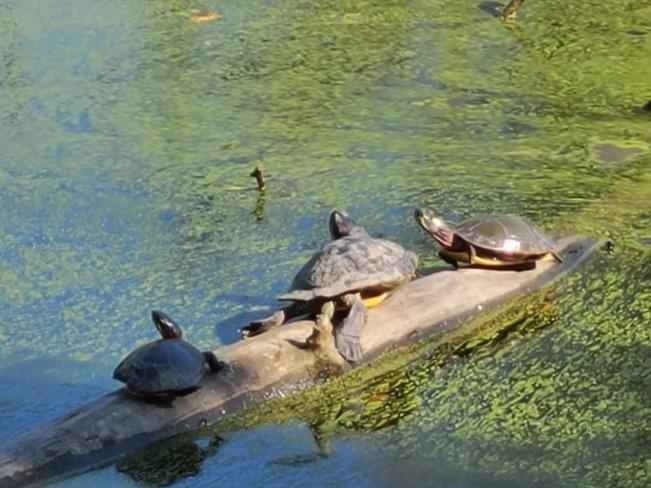 Sun Tanning Turtles Windsor, ON