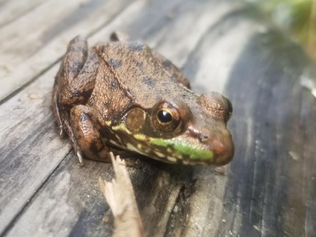 frog Halfway Lake Provincial Park, ON