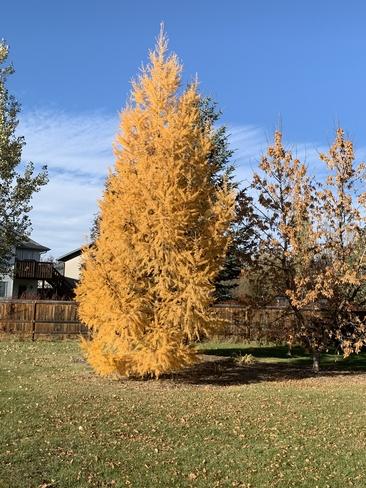 Fall tamarack Lacombe, Alberta, CA