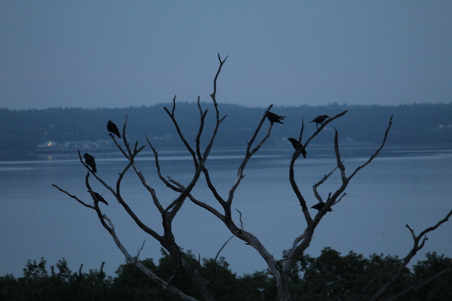 Murder of Crows at Sunrise Churchover, Nova Scotia