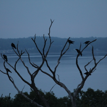 Murder of Crows at Sunrise