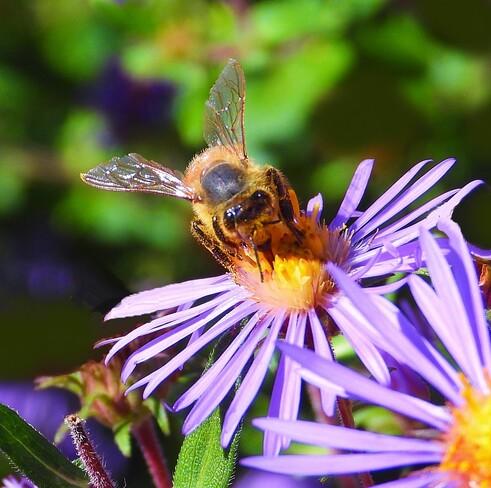 Honey Bee Cornwall, ON