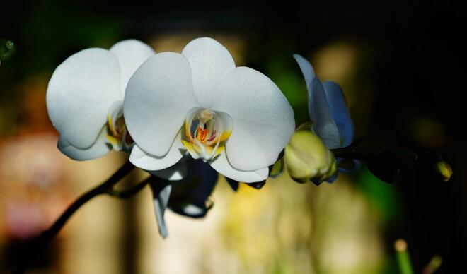 White Orchid Ottawa, ON