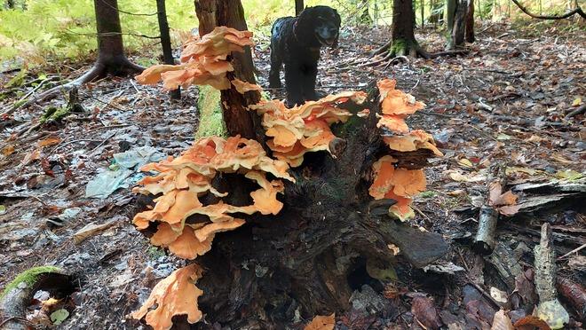 Orange Fungii Sault Ste. Marie, ON