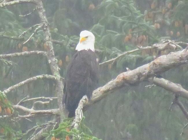 Eagle in the mist Port Alberni, BC