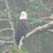 Eagle in the mist