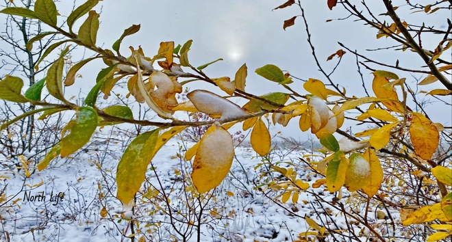 Fresh snow on autumn leaves Norman Wells, NT