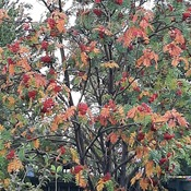 nice colours on the mountain ash