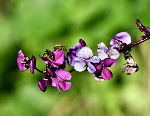 Le pollen Gatineau, QC