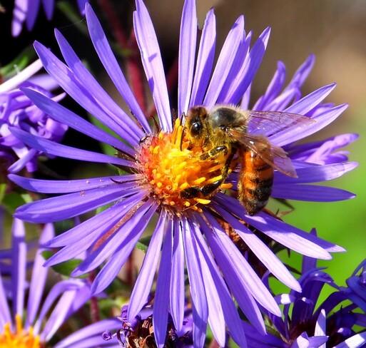 Honey bee on Wild Asters Cornwall, ON