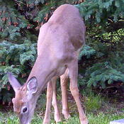 Mama Deer and Youngster