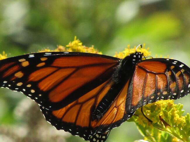 Monarch Butterfly North Preston, Nova Scotia