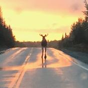 Bull moose sunset