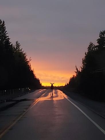 Bull moose sunset Kirkland Lake, ON