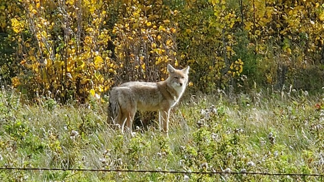 Coyote on the Ranch Tawatinaw, AB