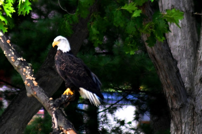 Bald Eagle fishing at Humber Marsh 28 Stonegate Rd, Etobicoke, ON M8Y 1V5, Canada