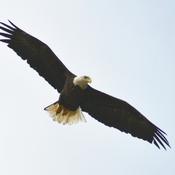 Bald Eagle fishing at Humber Marsh