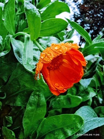flower after rain Surrey, BC